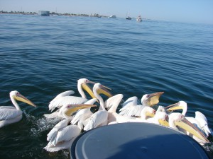 Pelicans in Walvis Bay