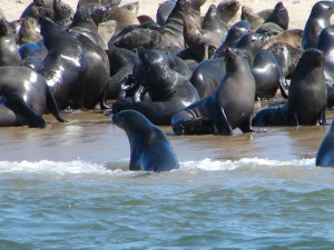 Seehunde in der Walvis Bay