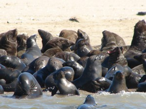 Seal banks in Walvis Bay
