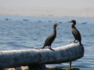 Cormorants in Walvis Bay