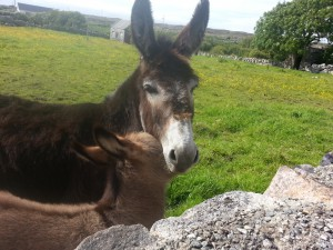 Eselmama mit Fohlen in Irland