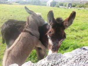 Esel / Donkey in Irland