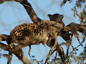 Gepard, Hammerstein Lodge, Namibia
