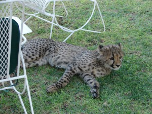 Gepard, Hammertein Lodge