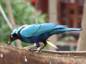 Vogel in Botswana