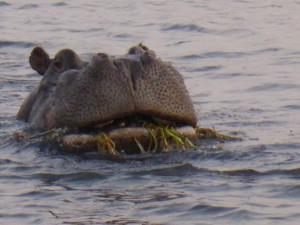 Flusspferd am Chobe River
