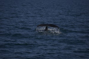 junger Buckelwal , young humpback whale