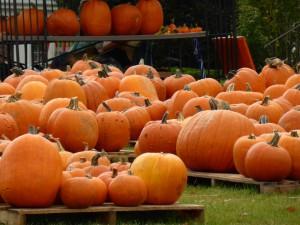 Riesenkürbisse in Cape Cod, pumpkins in Cape Cod