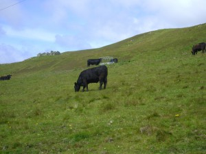 Angus Rinder auf der Insel Rousay