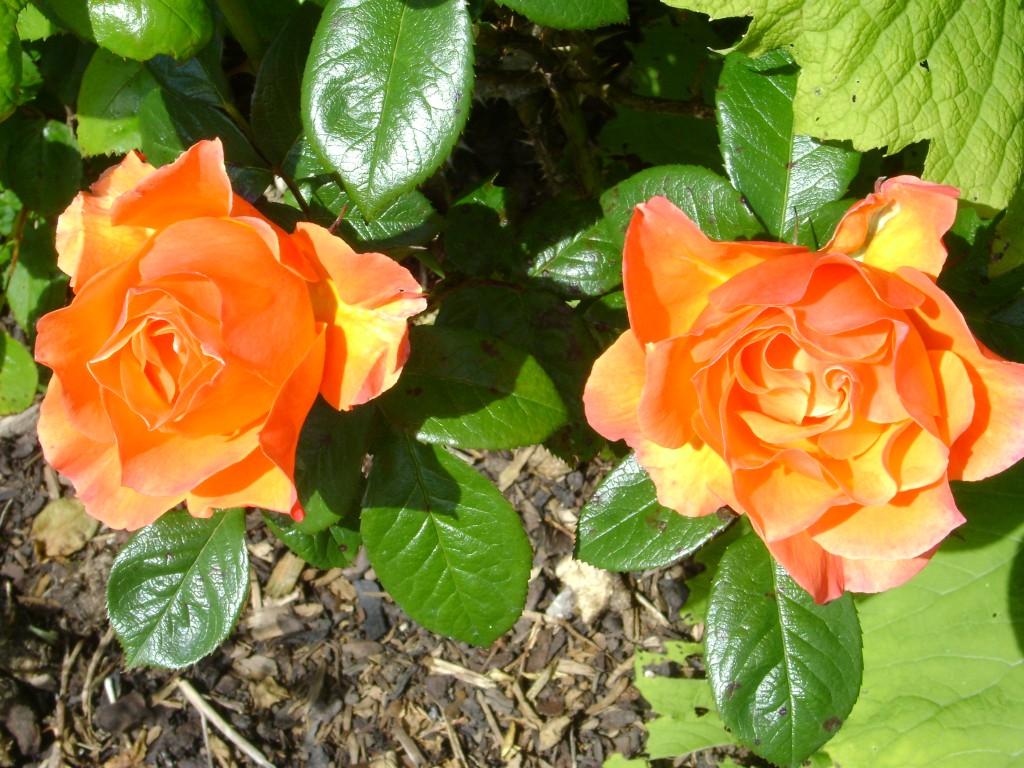 Rosen im Trumland Garten, roses in Trumland Gardens