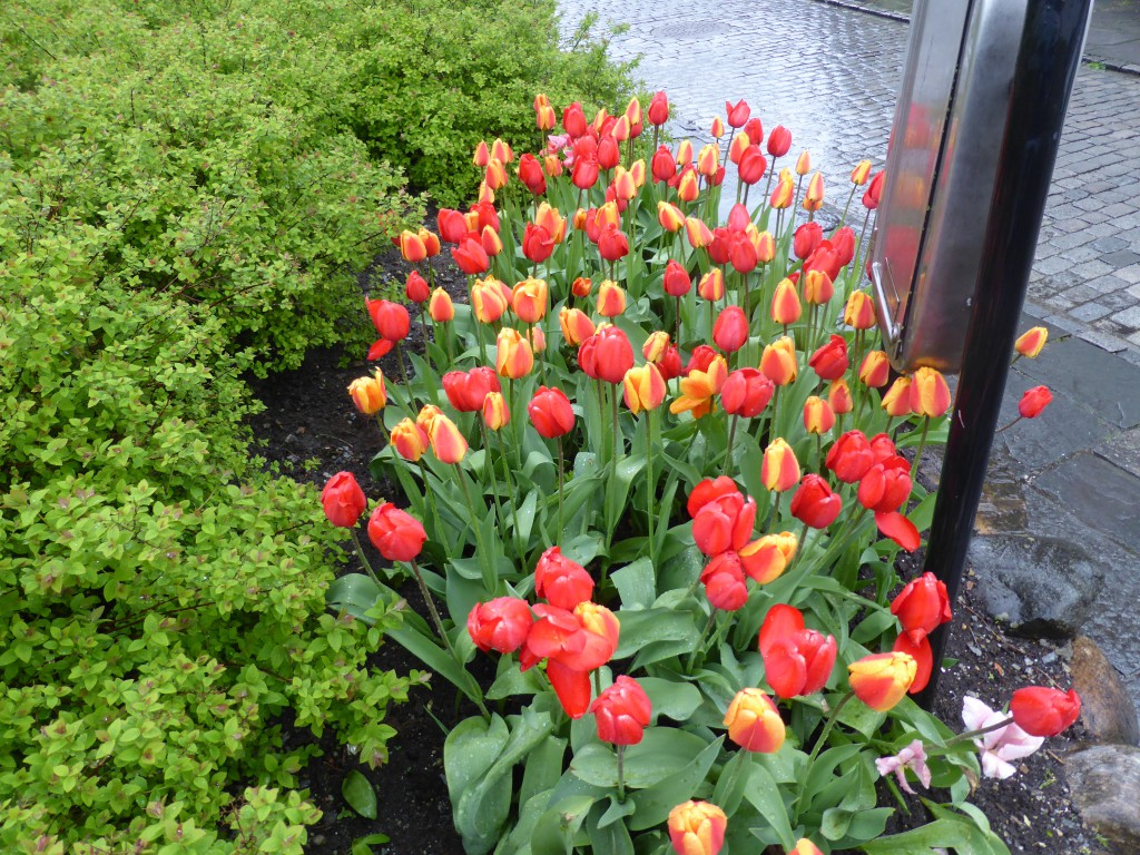 Tulpen im Regen /tulips in the rain in Stavanger