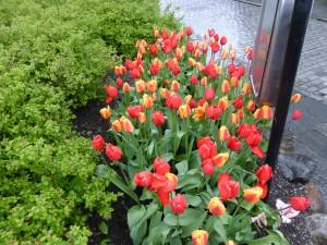 Tulpen im Regen /tulips in the rain in Stavanger