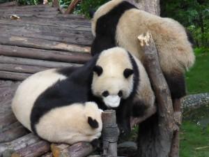 Panda cubs, junge Pandas
