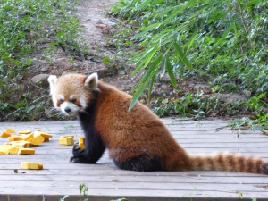 Roter Panda, Red Panda