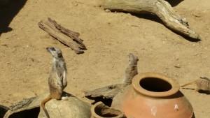 Erdmännchen, Zoo Hannover