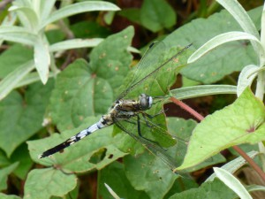 Libelle , Dragonfly