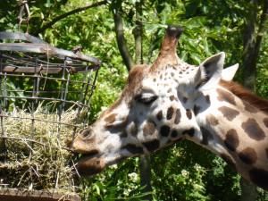 Giraffe, Zoo Hannover