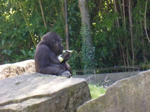 Schimpanse, Zoo Hannover