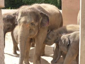 Indische Elefantenkühe mit ihren Kälbern im Zoo Hannover