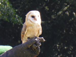Eule bei der Flugshow im Vogelpark Walsrode