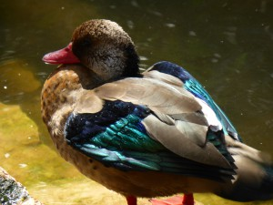 Ente, Vogelpark Walsrode