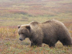 """Blond"" Brown Bear"