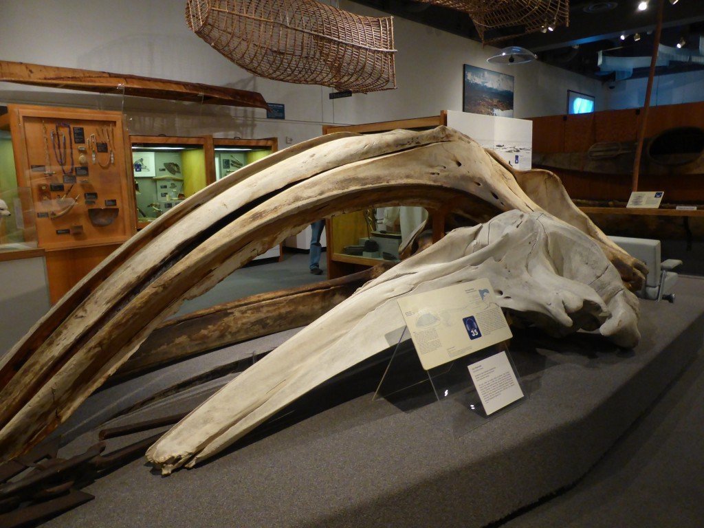 Walschädel im University of Alaska Museum