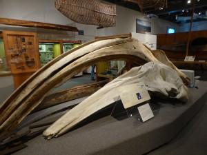 Whale skull in the University of Alaska Museum