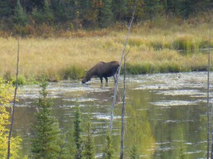 moose at the Glenn Highway