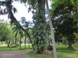 im Garten von Pamplemousses