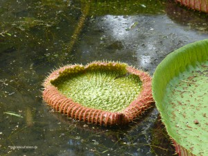 Amazonas Water Lily