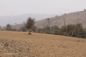sheep and goats near Agadir