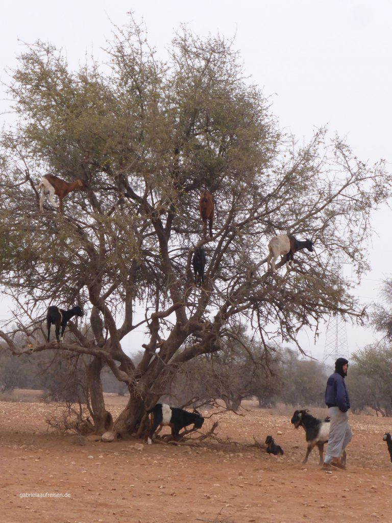 Ziegenbaum