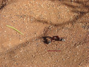 ants in the red sand of the Sossusvlei