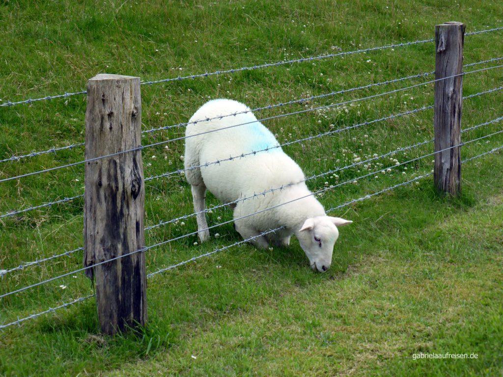 Hinter dem Zaun ist das Gras halt grüner...