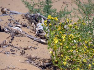 desert flowers in the Karakum desert