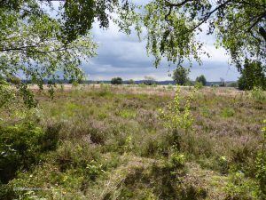 die Lüneburger Heide, kurz vor dem Regen