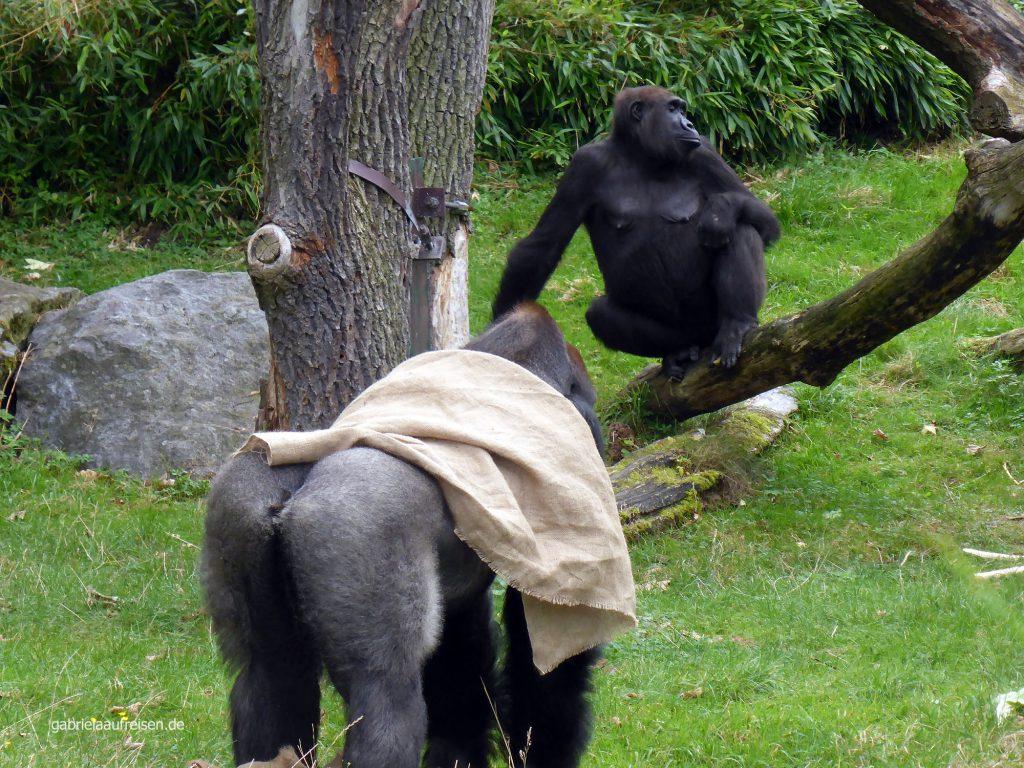 Silberrücken im Zoo Leipzig