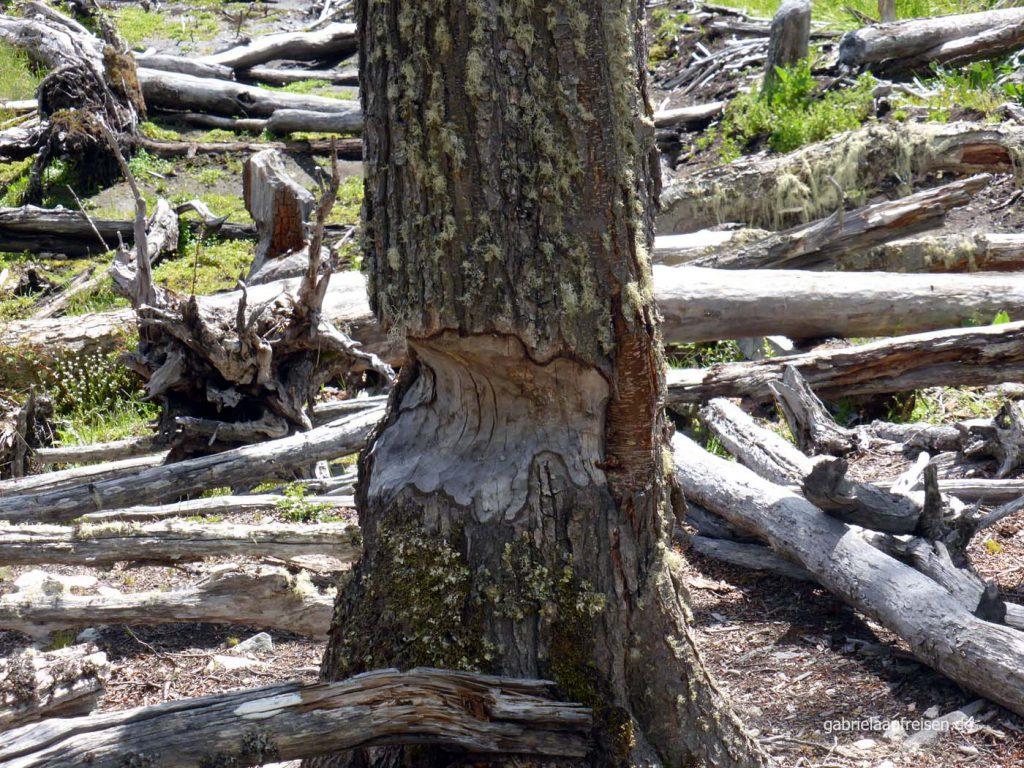 von einem Biber angenagter Baum