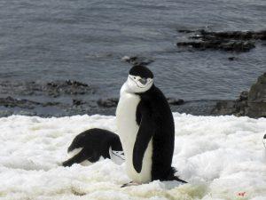 Antarctica, Halfmoon Bay, chinstrap penguin