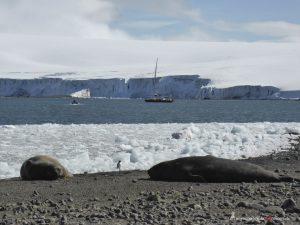 Antarctica, Yankee Harbour, elephant seals
