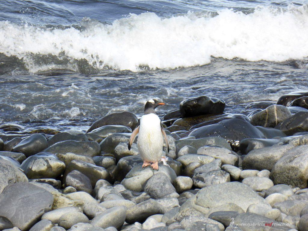 Antarktis, Yankee Harbour, Eselspinguin