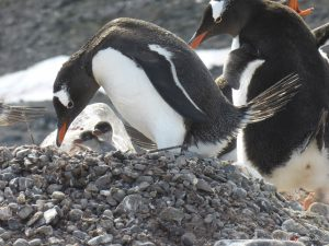 Antarctica, Yankee Island, gentoo penguins with chicks