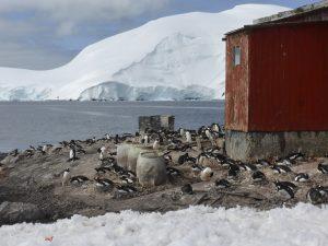 Antarctica, Mikkelsen Harbour, Gentoo penguins