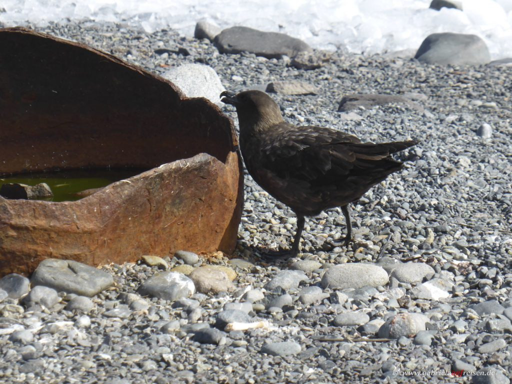 Antarktis, Yankee Harbour, Raubmöwe, Skua