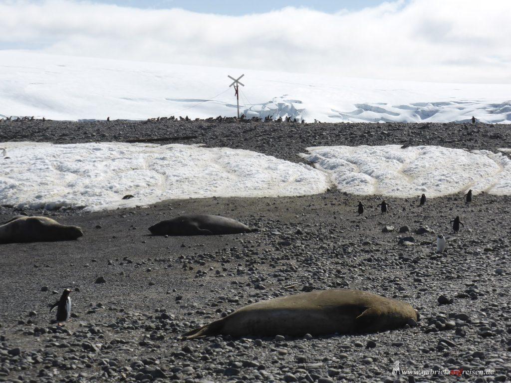 Antarktis, Yankee Harbour, Seeelefanten