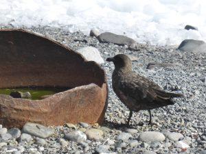 Antarctica, Yankee Harbour, Skua