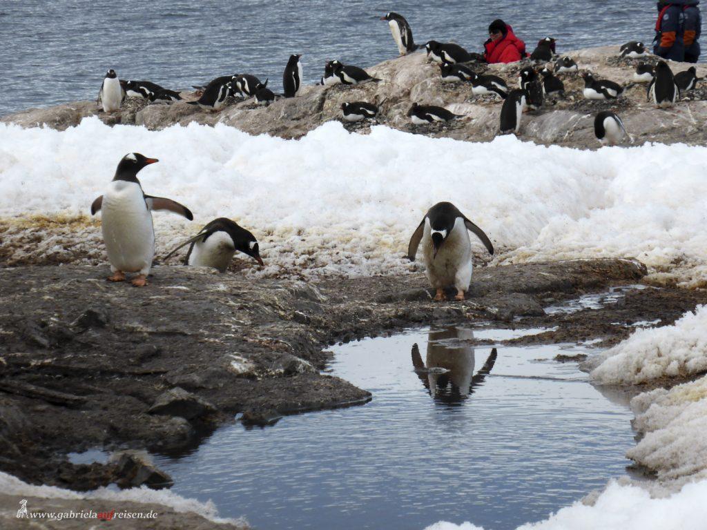 Antarktis, Mikkelsen Harbour, Eselspinguin