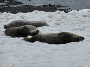 Antarctica, Mikkelsen Harbour, Weddell seals