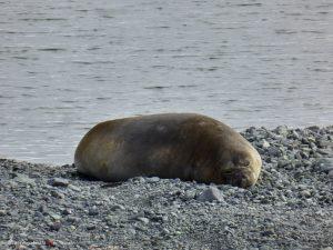 Antarktis, Weddel Robbe, Mikkelsen Harbour